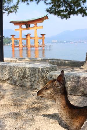厳島神社の鳥居と鹿
